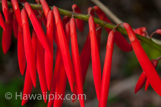 Blooming Erythrina