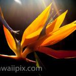 Sunlit Bird Of Paradise